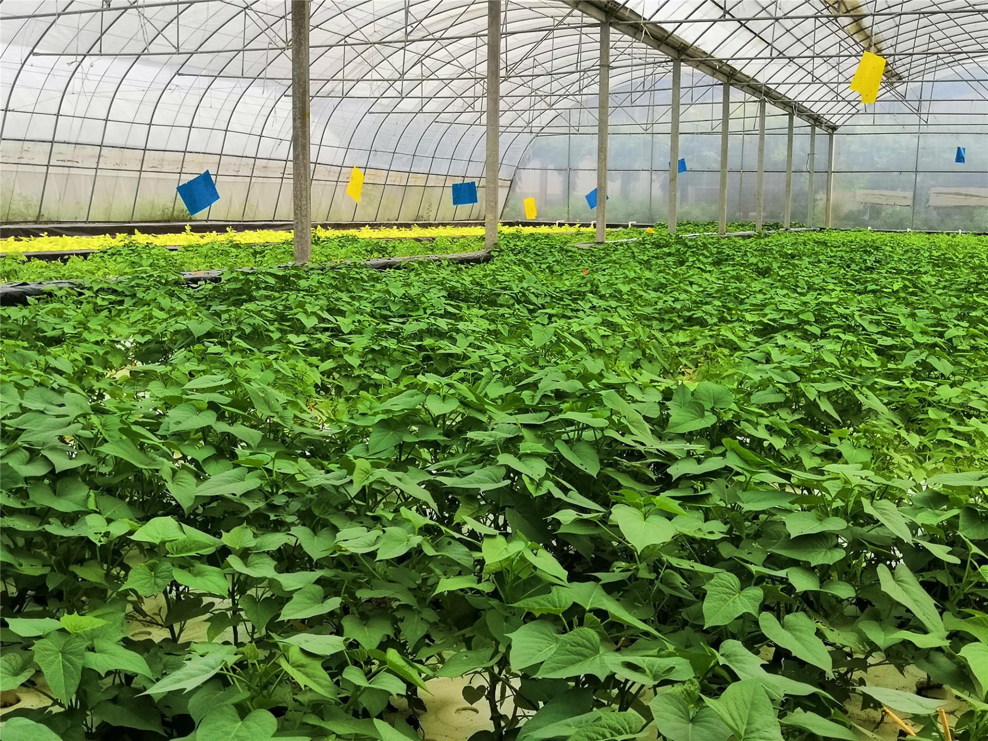 水培叶用红薯.jpg
